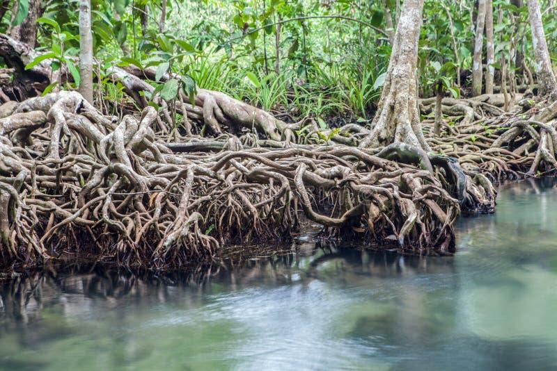 Καταπληκτικό κρύσταλλο - σαφές σμαραγδένιο κανάλι με το μαγγρόβιο δασικό Thapom στοκ εικόνες