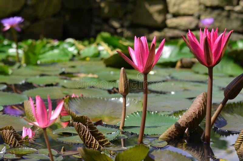 Καταπληκτικό νερό lillies στοκ φωτογραφίες με δικαίωμα ελεύθερης χρήσης