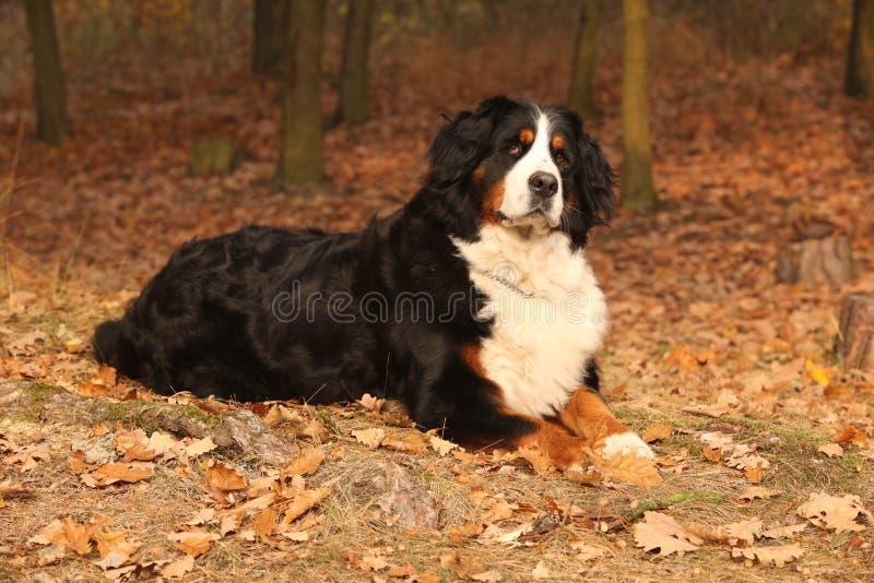 Καταπληκτικό bernese σκυλί βουνών που βρίσκεται στο δάσος φθινοπώρου στοκ εικόνες