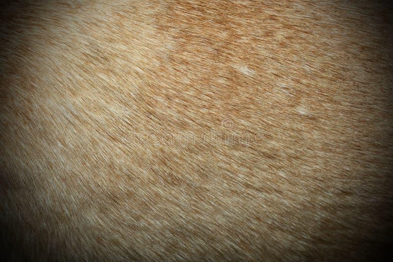 Κατασκευασμένη γούνα Dingo στοκ εικόνες