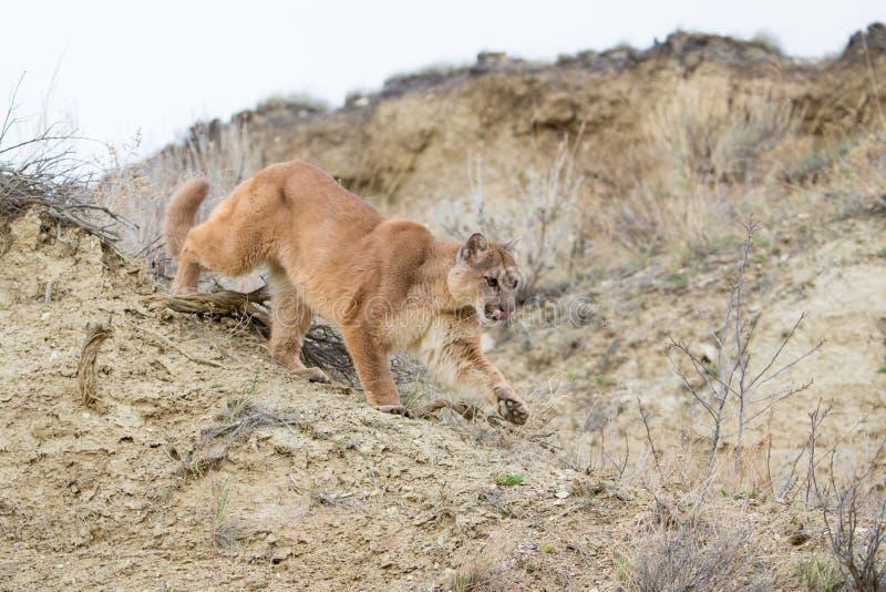 Καταδίωξη λιονταριών βουνών στο θήραμα στο φαράγγι στοκ εικόνες με δικαίωμα ελεύθερης χρήσης