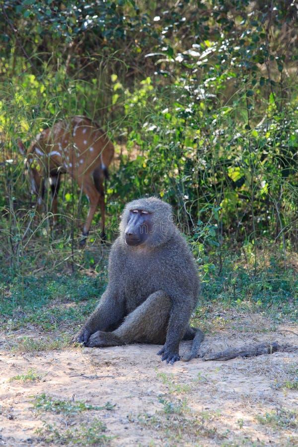 Κατεψυγμένο έξω baboon στοκ εικόνες