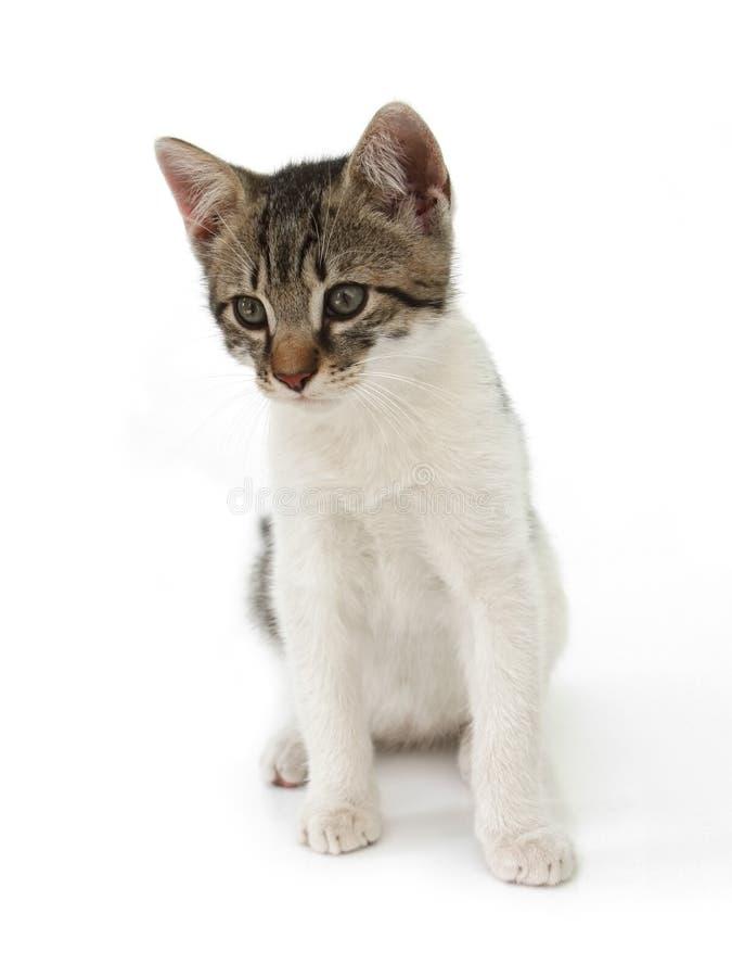 κατσίκι γατών στοκ εικόνα