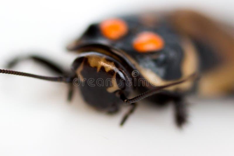 Κατσαρίδα λίγο subcincta Lucihormetica αυτοκινήτων με τα πορτοκαλιά σημεία Avtomobilchiki κατσαρίδων από την τροπική βροχή στοκ εικόνες