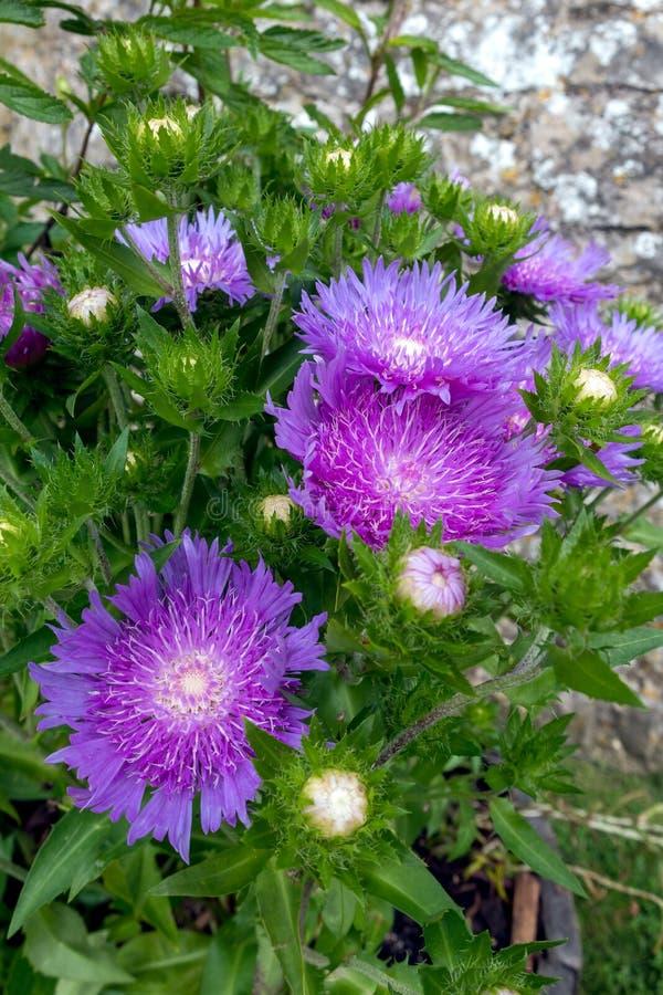Κατσαρόλα με λευκά μοβ λουλούδια του σκληρού πολυετούς Soke`s Aster`Purple Parasols`Stokesia laevis στοκ εικόνες