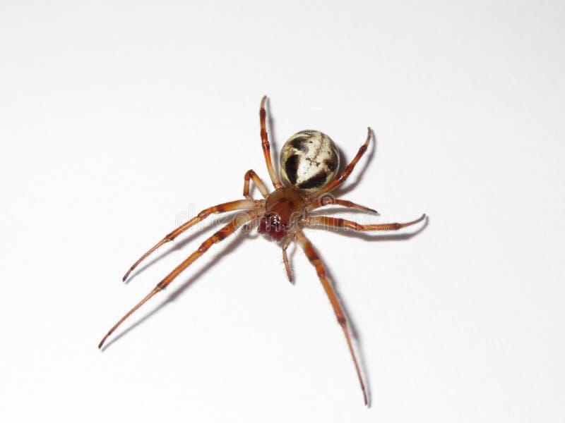 Κατσαρώνοντας αράχνη φύλλων στοκ εικόνα