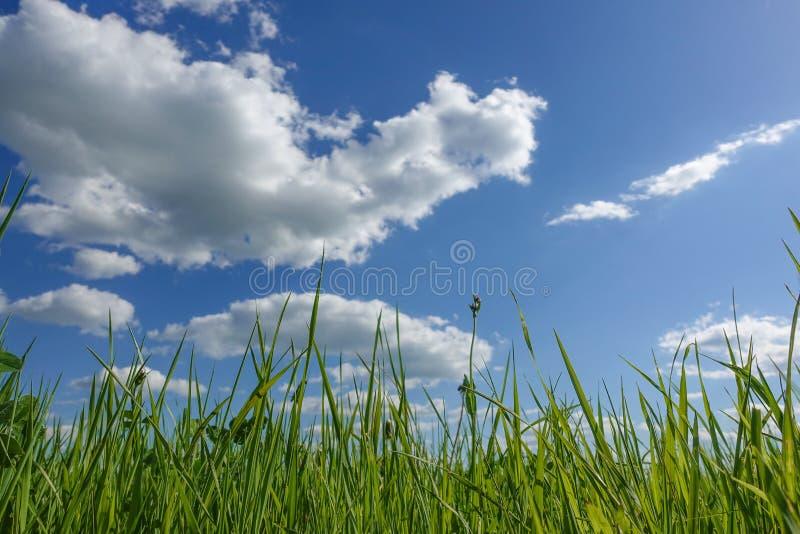 Κατώτατη άποψη από την πράσινη χλόη ενάντια στο μπλε ουρανό στοκ εικόνες