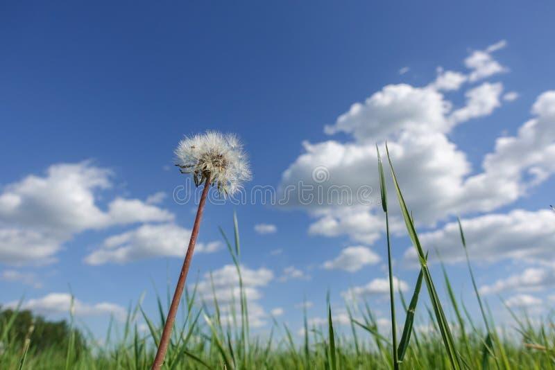 Κατώτατη άποψη από την πράσινη χλόη με τη χνουδωτή πικραλίδα ενάντια στο μπλε ουρανό στοκ φωτογραφία με δικαίωμα ελεύθερης χρήσης