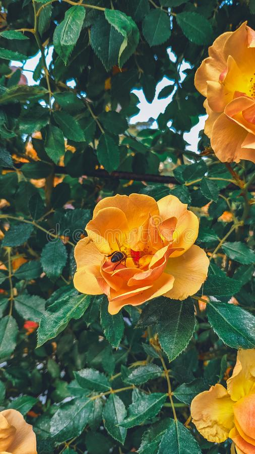 Κατώτατο σημείο της μέλισσας που επικονιάζει το πορτοκαλί λουλούδι στοκ φωτογραφία