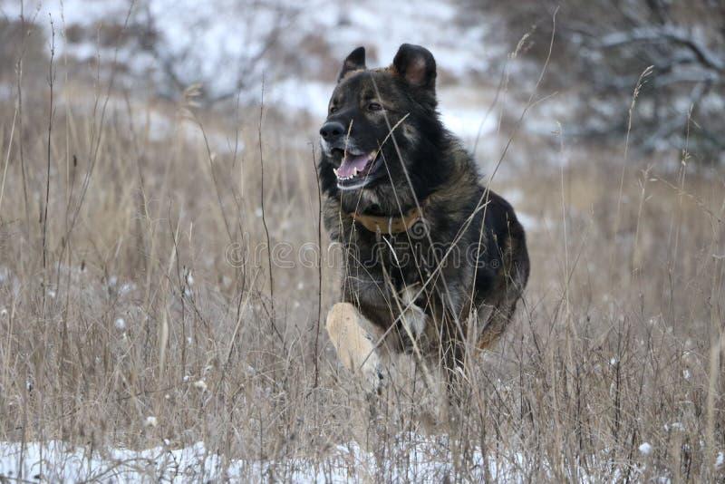 καυκάσιος ποιμένας σκυλιών στοκ εικόνα