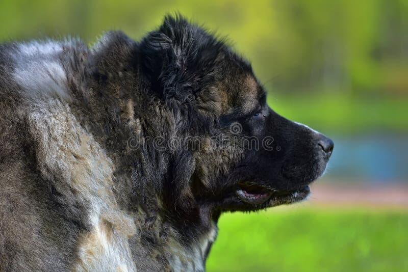 Καυκάσιο πορτρέτο τσοπανόσκυλων στοκ εικόνες