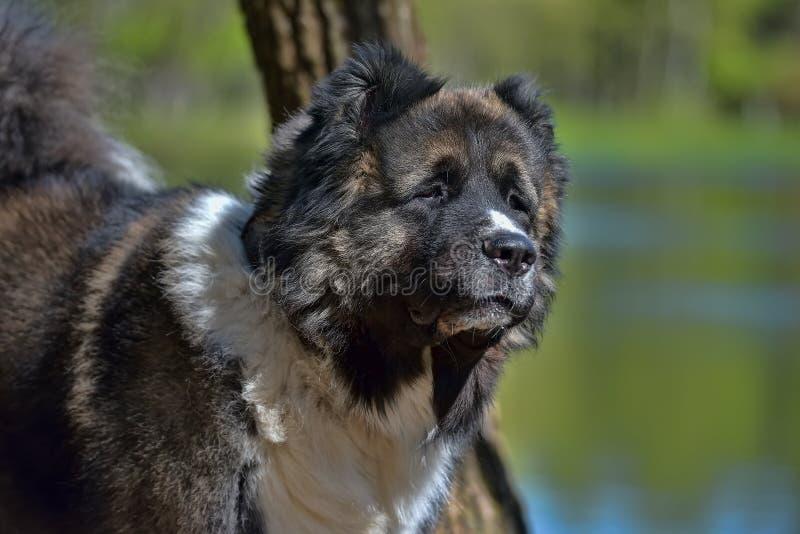 Καυκάσιο πορτρέτο τσοπανόσκυλων στοκ φωτογραφίες