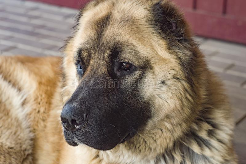 Καυκάσιο τσοπανόσκυλο δύο σκυλιών χρονών jpg στοκ εικόνα