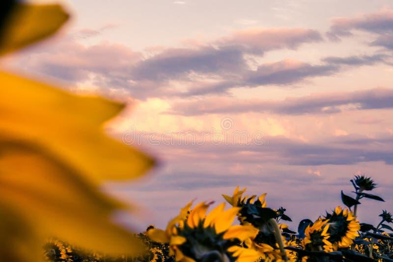 Καυτά και θερμά χρώματα και σκιές των όμορφων τοπίων της Ρωσίας στην περιοχή του Ροστόφ Τοπικοί τομείς των ανθίζοντας κίτρινων ηλ στοκ φωτογραφίες με δικαίωμα ελεύθερης χρήσης