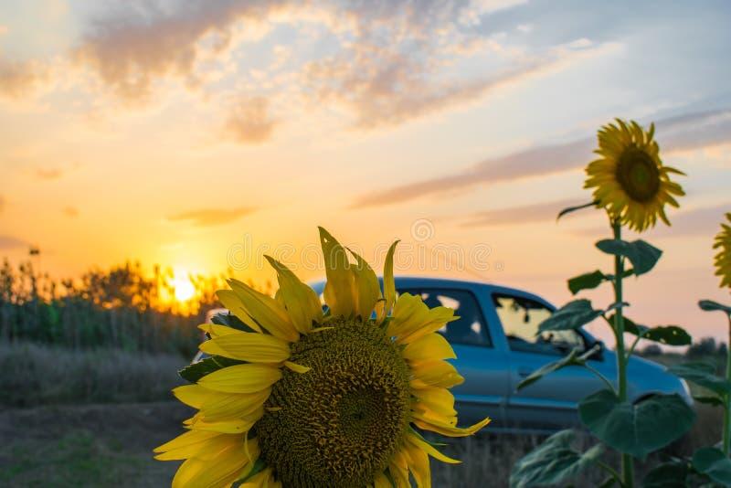 Καυτά και θερμά χρώματα και σκιές των όμορφων τοπίων της Ρωσίας στην περιοχή του Ροστόφ Τοπικοί τομείς των ανθίζοντας κίτρινων ηλ στοκ εικόνες
