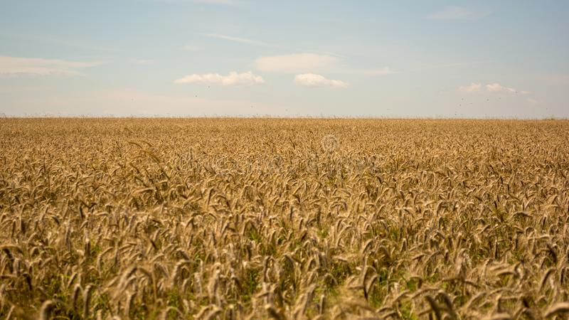 καυτός θερινός σίτος πεδίων ημέρας Τα αυτιά του χρυσού σίτου κλείνουν επάνω Όμορφο τοπίο ηλιοβασιλέματος φύσης Αγροτικό τοπίο κάτ στοκ εικόνες