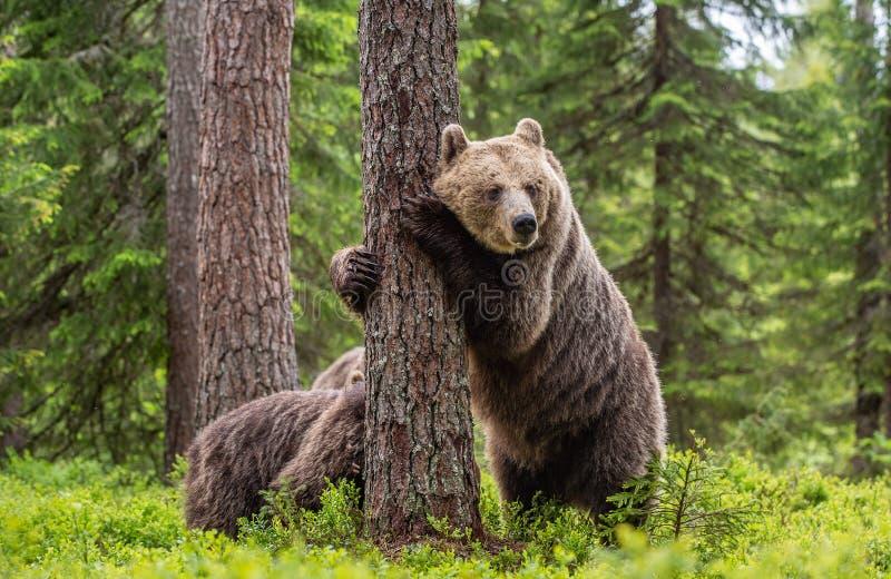 Καφέ αρκούδα που στέκεται στα πίσω πόδια του Αρκούδα και μικρά στο θερινό δάσος Φυσικό Περιβάλλον Καφέ αρκούδα, επιστημονική ονομ στοκ φωτογραφία με δικαίωμα ελεύθερης χρήσης