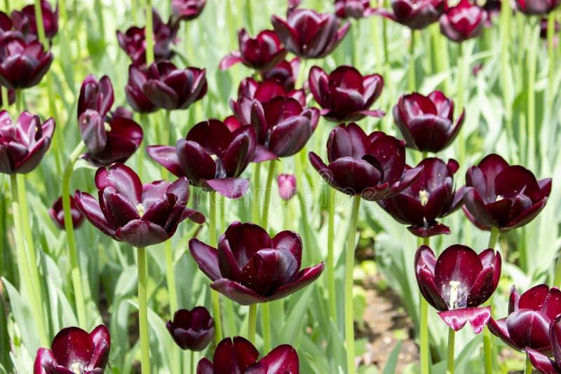 Καφέ σκούρο κόκκινο τουλίπες κρασιού ομάδας, καλλιεργημένο ποικίλο σκοτεινό χρώμα τουλιπών ανθίζει σχεδόν τις μαύρες τουλίπες στοκ φωτογραφία με δικαίωμα ελεύθερης χρήσης