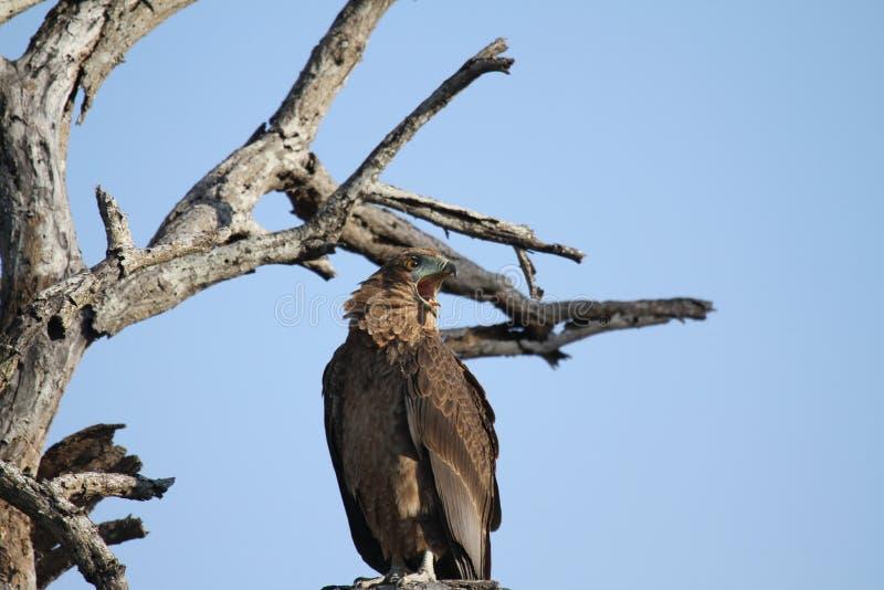 Καφετής αετός φιδιών στοκ εικόνες