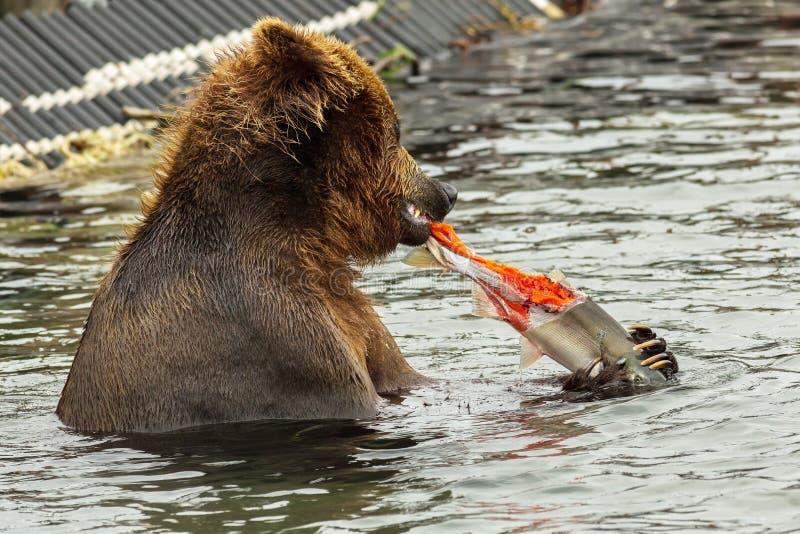 Καφετής αντέξτε έναν σολομό που πιάνεται στη λίμνη Kurile στοκ εικόνες