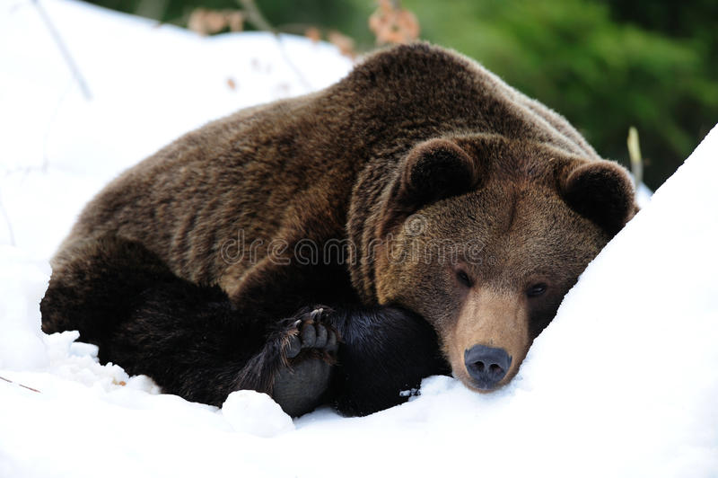 Καφετής αντέξτε είναι ύπνος στο χιόνι στοκ φωτογραφία