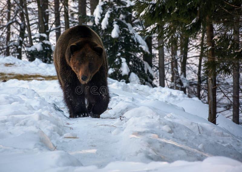 Καφετής αντέξτε στο χειμερινό δάσος στοκ φωτογραφίες