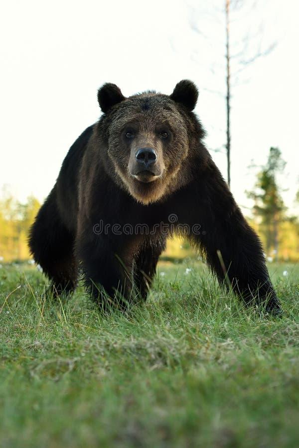 Καφετής αντέξτε το πορτρέτο, η αρκούδα θέτει στοκ εικόνα με δικαίωμα ελεύθερης χρήσης