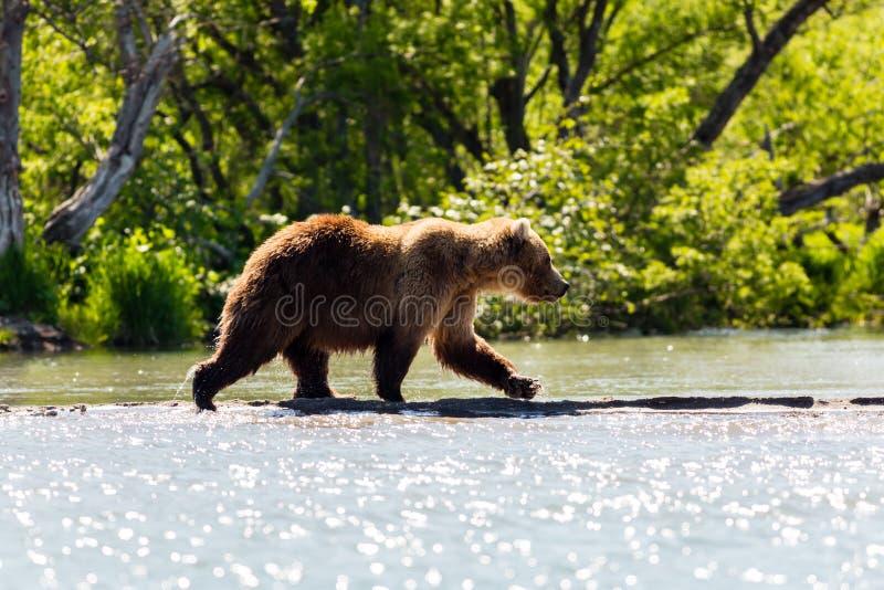 Καφετής αντέξτε το beringianus arctos Ursus αλιεύοντας στον ποταμό Kamchatka, Ρωσία στοκ εικόνες