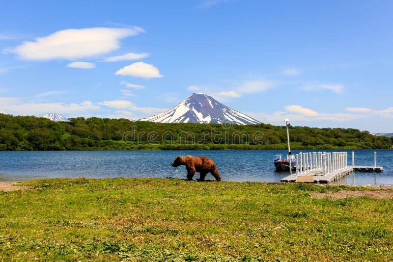 Καφετής αντέξτε το beringianus arctos Ursus περπατώντας κοντά στη λίμνη Kurile στα πλαίσια του ηφαιστείου Ilyinsky kamchatka στοκ φωτογραφία με δικαίωμα ελεύθερης χρήσης