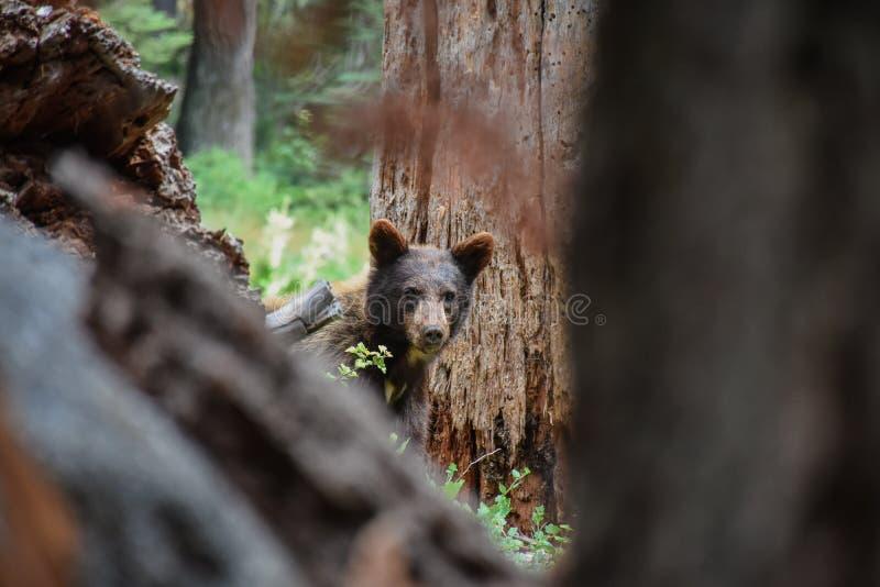 Καφετής αντέξτε sequoia το εθνικό πάρκο στοκ φωτογραφίες