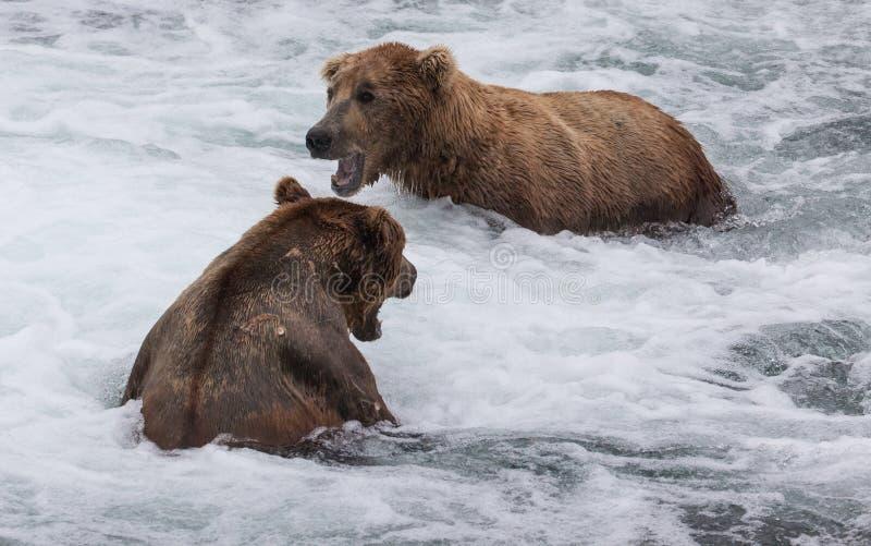 Καφετής βρυχηθμός αρκούδων στοκ εικόνες