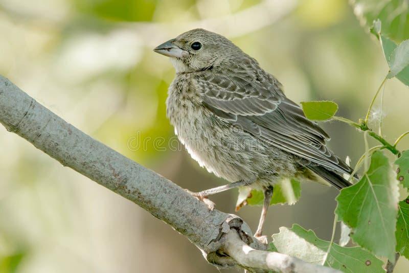 Καφετής-διευθυνμένα Cowbird - Molothrus ater στοκ εικόνες με δικαίωμα ελεύθερης χρήσης