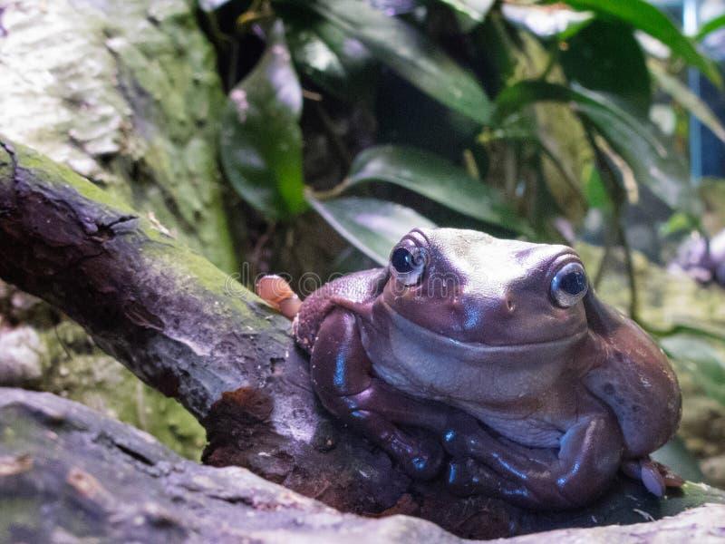 Καφετής μεγάλος βάτραχος στον ξύλινο κλάδο δέντρων στο ζωολογικό κήπο 2014 Ρήγα Λετονία στοκ εικόνες με δικαίωμα ελεύθερης χρήσης