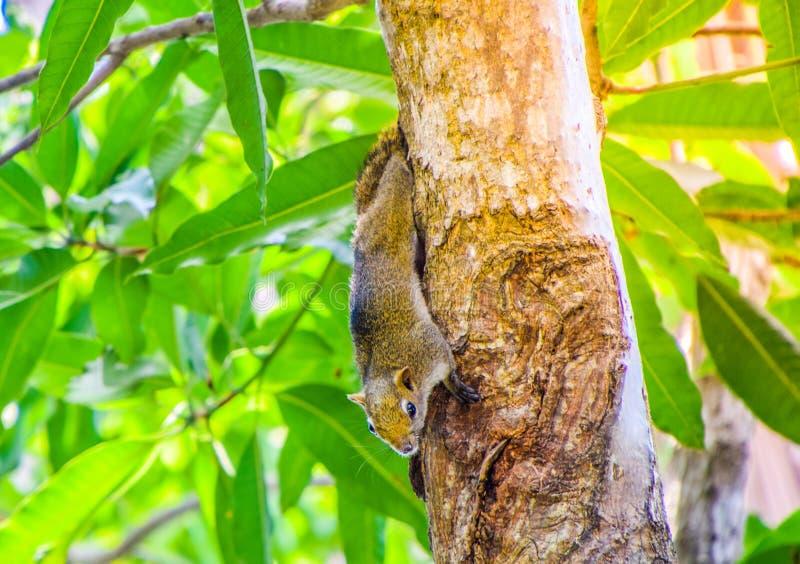 Καφετής ταϊλανδικός σκίουρος που αναρριχείται στο δέντρο μάγκο, χαριτωμένος σκίουρος στοκ εικόνες με δικαίωμα ελεύθερης χρήσης