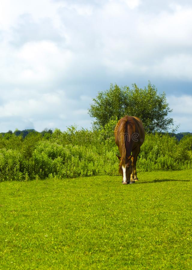 Καφετί άλογο στο πράσινο ξέφωτο στοκ φωτογραφία με δικαίωμα ελεύθερης χρήσης