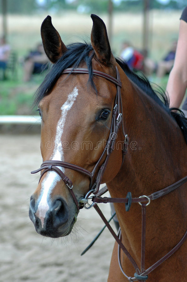 Download καφετί άλογο στοκ εικόνα. εικόνα από πρόσωπο, άλογο, πόνι - 1533597