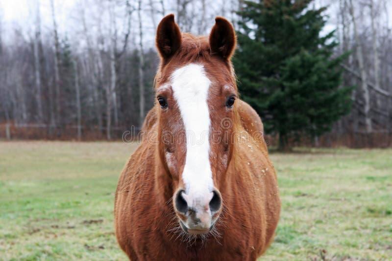 Download καφετί άλογο στοκ εικόνες. εικόνα από έκφραση, farmland - 1546916