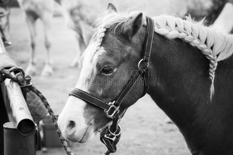 Καφετί άλογο με τον πλεγμένο Μάιν, κινηματογράφηση σε πρώτο πλάνο στοκ εικόνα