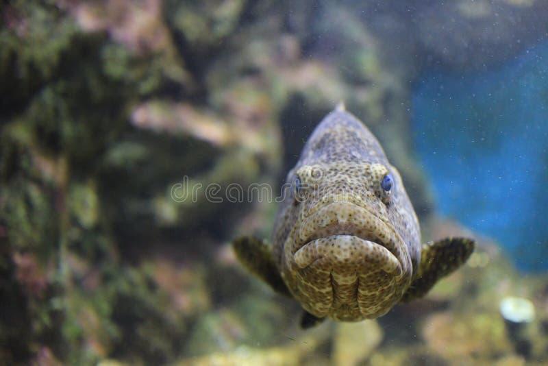 Καφετί επισημασμένο grouper στοκ εικόνες