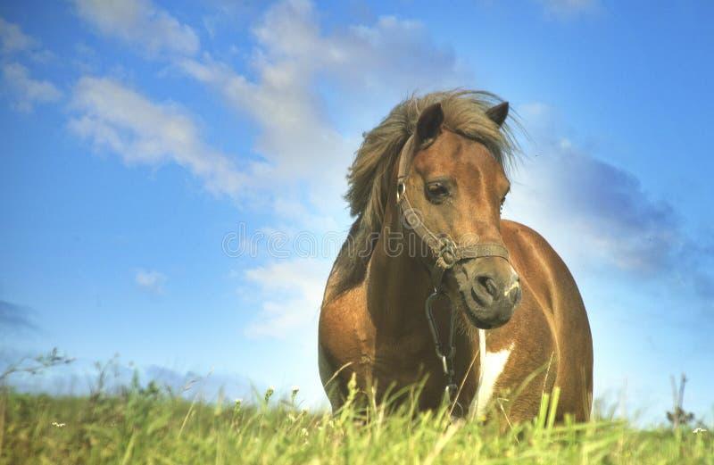 Καφετί θηλυκό άλογο πόνι στοκ φωτογραφία με δικαίωμα ελεύθερης χρήσης