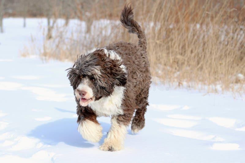 Καφετί και άσπρο σκυλί που περπατά στο χιόνι στοκ φωτογραφία