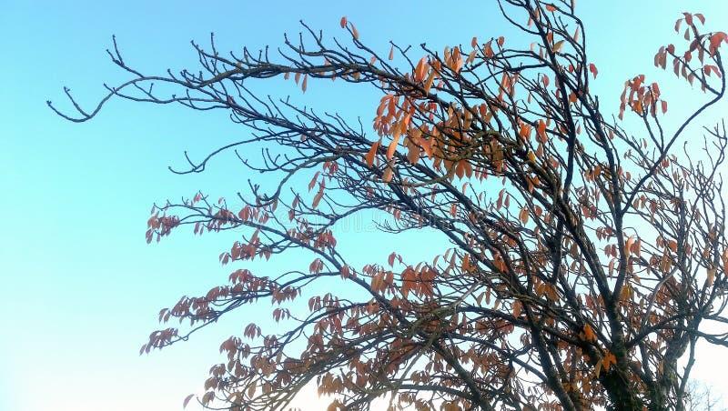 Καφετί κόκκινο δέντρο σε έναν μπλε ουρανό στοκ φωτογραφία με δικαίωμα ελεύθερης χρήσης