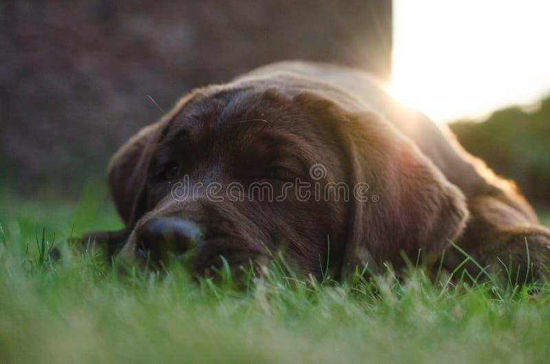 Καφετί να βρεθεί σκυλιών κουταβιών του Λαμπραντόρ στοκ φωτογραφία με δικαίωμα ελεύθερης χρήσης