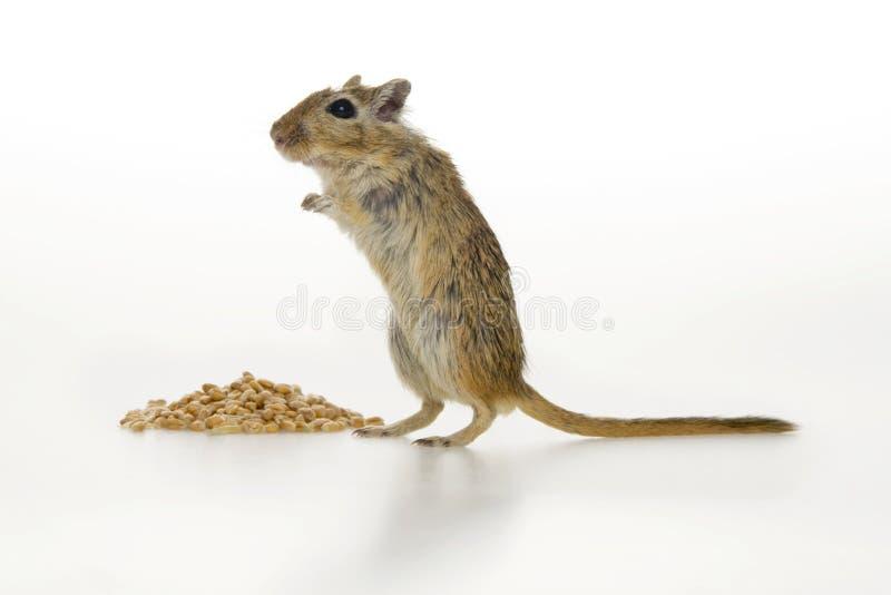 καφετί ποντίκι στοκ εικόνες με δικαίωμα ελεύθερης χρήσης