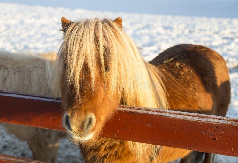 καφετί πόνι Shetland στοκ φωτογραφίες με δικαίωμα ελεύθερης χρήσης