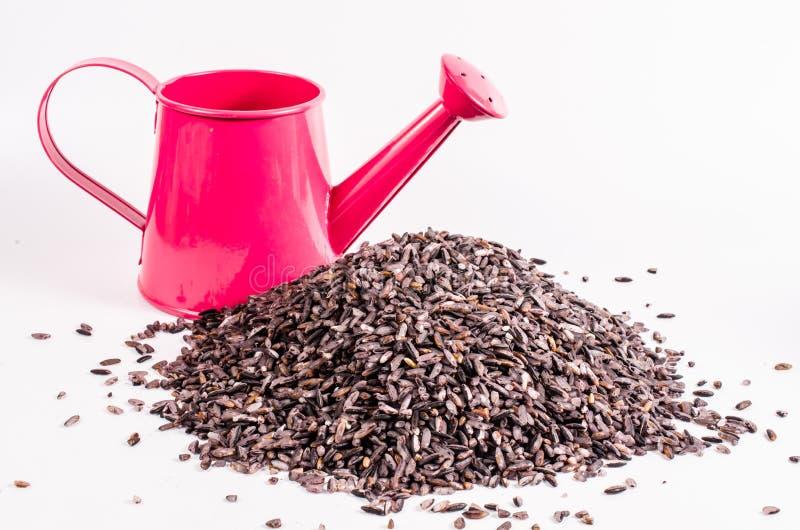 Καφετί ρύζι με το πότισμα του δοχείου στοκ εικόνες με δικαίωμα ελεύθερης χρήσης