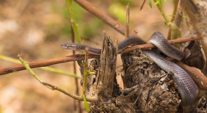 Καφετί φίδι σπιτιών στο κούτσουρο στοκ φωτογραφία με δικαίωμα ελεύθερης χρήσης