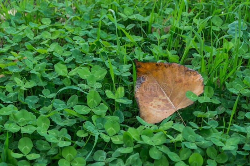 Καφετί φύλλο στα πράσινα τριφύλλια τέσσερις-φύλλων στοκ εικόνα με δικαίωμα ελεύθερης χρήσης