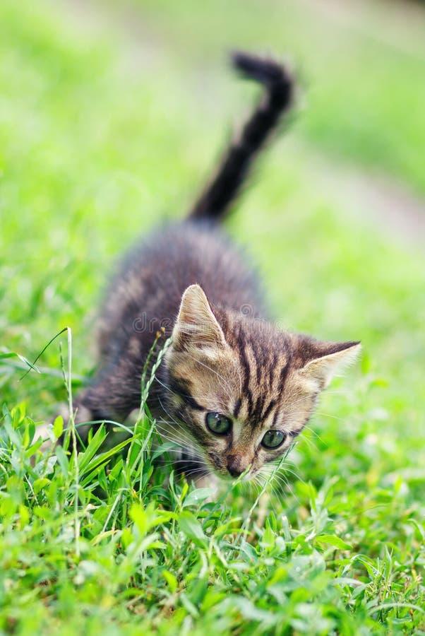 Καφετί χαριτωμένο γατάκι λωρίδων που περπατά στη χλόη στοκ εικόνα