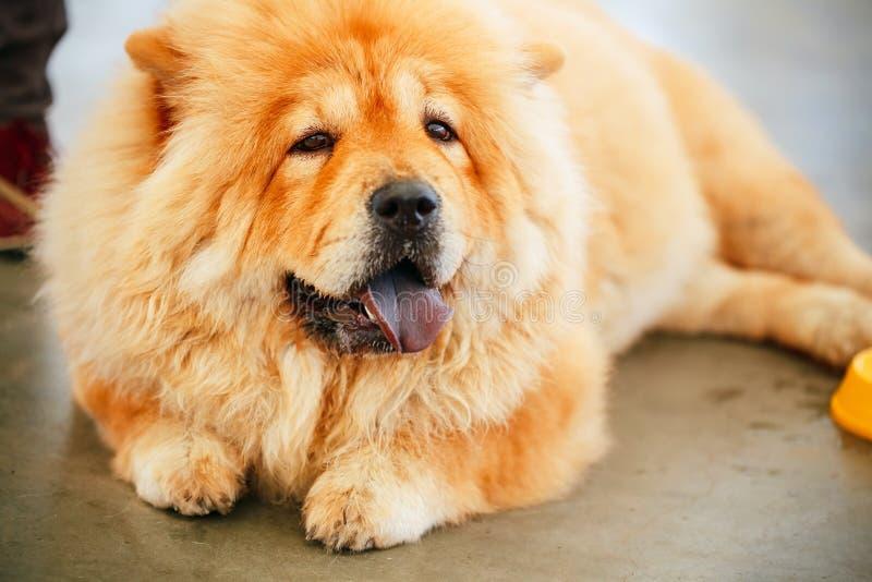 Καφετί chow ραχών chow σκυλί στοκ φωτογραφίες με δικαίωμα ελεύθερης χρήσης